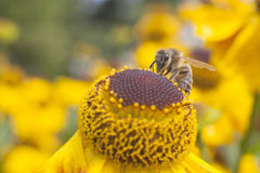 Bee sitting on top of echinacea Stock Photos