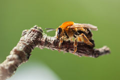 Bee sitting on twig Royalty Free Stock Photo