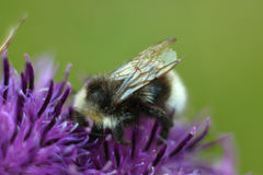 Bee sitting on violet flower of burdock. Beautiful green meadow. Macro Stock Photo