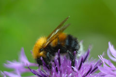Bee sitting on violet flower of burdock in the meadow. Blur effect. Macro Royalty Free Stock Image