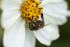 Bee sitting on a white flower. Close-up royalty free stock photo