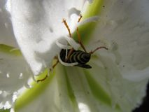 Bee sitting on a white flower stock image