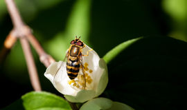 Bee sitting on a white flower. Selective focus, macro royalty free stock image