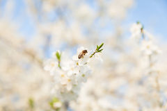 Bee sitting on a white flowering tree. In the spring royalty free stock photos
