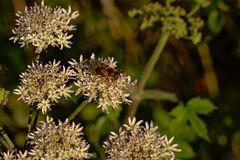 Bee sitting on a white hogweed flower, selective focus. Bee on sitting a white hogweed or cow parsnip flower, selective focus stock photos
