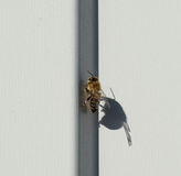 Bee sitting on a white sheet of iron. Bee basking in the sun Stock Photography