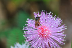 Bee sitting on wild flower Royalty Free Stock Photography