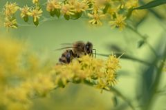 Bee on yellow blossom of goldenrods solidago. Bee sitting on yellow flower collecting nectar in autumn Royalty Free Stock Images