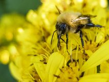 Bee sitting on a yellow flower and collects nectar macro royalty free stock photos