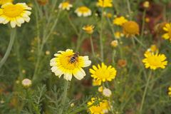 A bee sitting on a yellow flower. I took a close-up of a bee sitting on a yellow flower field Stock Photo