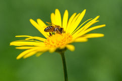 Bee sitting on a yellow flower. Royalty Free Stock Photo
