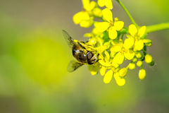 Bee. Sitting on yellow flower of the sun stock images