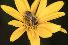 The bee is sitting on a yellow flower, top view Stock Photos
