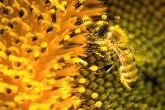 Bee sitting on yellow sunflower. A bee collecting pollen on a yellow sunflower Royalty Free Stock Image