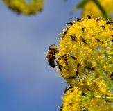 Bee and small flies on fennel flowers. Fennel flowers with small insects Stock Image