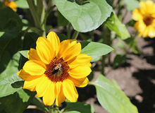 Bee on small sunflower Royalty Free Stock Photo