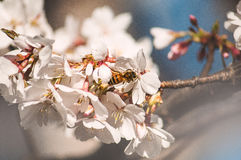 Bee smelling these blossoms stock photos