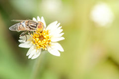 Bee smelling grass morning. Bee sucking nectar from flowers Royalty Free Stock Image