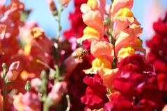 Bee and Snapdragon Flower Stock Photos