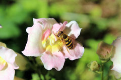 Bee on a snapdragons Stock Photography