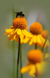 Bee on a sneezeweed flower. A bee pollinating a yellow sneezeweed plant stock photography