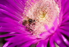 Bee in sour fig Stock Photo