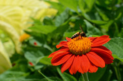 Bee on source of nectar. Starving bee on source of nectar, flower called Zinnia Royalty Free Stock Photos
