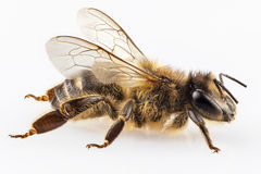 Bee species apis mellifera Royalty Free Stock Photo
