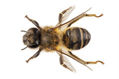 Free Bee Species Apis Mellifera Royalty Free Stock Photo - 27782395