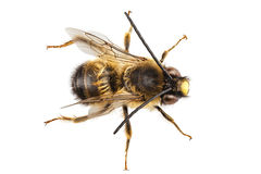 Bee species Eucera longicornis common name Solitary miner bee Stock Images