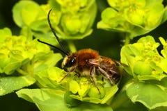 Bee species Eucera longicornis comon  name solitary miner bee Stock Photo