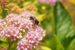 Bee on Spiraea Royalty Free Stock Image
