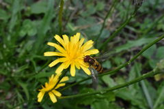 The bee spread its wings on a small yellow flower. Royalty Free Stock Image