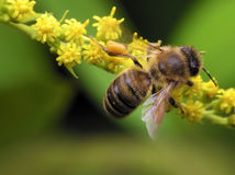 Bee in spring. Working bee on yellow flowers in spring day stock images