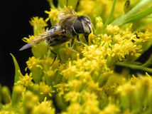Bee in spring. Working bee on yellow flowers in spring day stock photo
