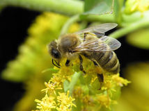 Bee in spring. Working bee on yellow flowers in spring day stock photos