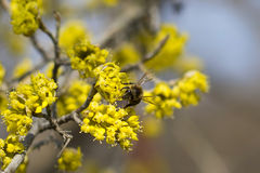 Bee on spring blossom dogwood Royalty Free Stock Image