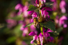 Bee on spring blossom flower Royalty Free Stock Photography