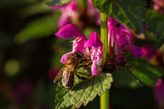 Bee on spring blossom flower Stock Photo