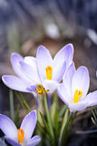 Bee on spring crocuses Royalty Free Stock Image