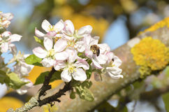 Bee in spring. Bee on the flower of apple-tree Royalty Free Stock Image