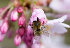 Bee on spring flower cherry Stock Images
