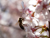 Bee on a spring flower of cherry Royalty Free Stock Photos