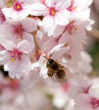 Bee on spring flower of cherry Stock Photos