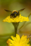 Bee and spring flower Royalty Free Stock Photos