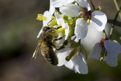 Bee and spring flower Stock Images