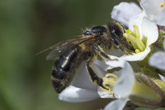 Bee and spring flower Royalty Free Stock Image