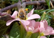 Bee on a spring flower. In the grass Stock Photography