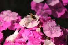 Bee and spring flowers Royalty Free Stock Photo