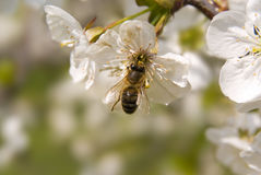Bee on spring tree flowers. Bee on white spring cherry-tree flowers, natural background Royalty Free Stock Photos